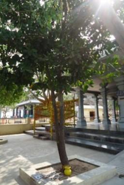 Sri Sthala Virutcham - Punnai Tree